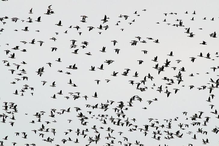flyttfåglar, gäss, svärm, Haze, vilda gässen, naturen, fågel