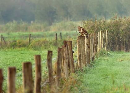 buzzard, wild bird, raptor, fog, meadow, hunting, plumage