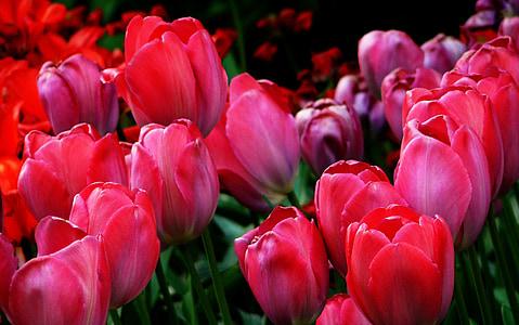 tulbid, tulbi väljad, kevadel, lill, loodus, Tulip, teravuse mäng