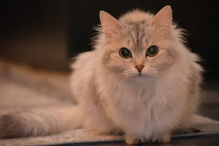 kissa, eläinten, Pet, näkymä, pörröinen kissa, harmaa, eläimet