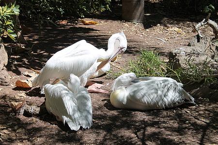 pelicans, birds, white, beautiful, big beaks, bird