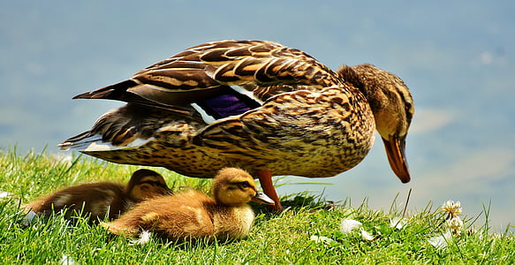 duck, chicks, ducklings, protection, mama, plumage, nature