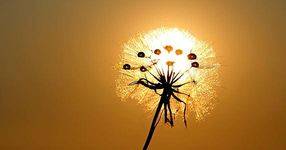 Глухарче, слънце, роса, вода, растения