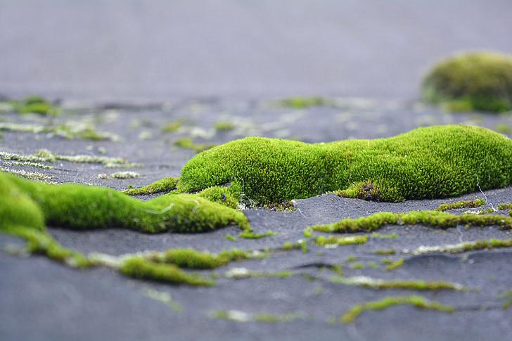 molsa, liquen, verds, natura, close-up, herba verda, viure la natura