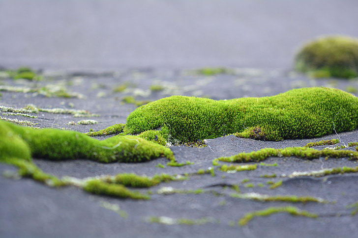mahovina, lihen, zelje, priroda, krupne, zelena trava, žive prirode