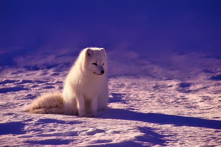 Норвегия, Фокс, Арктика, животните, дива природа, сняг, зимни