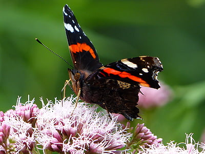 пеперуда, цвете, насекоми, макрос, Пролет, трева, птица