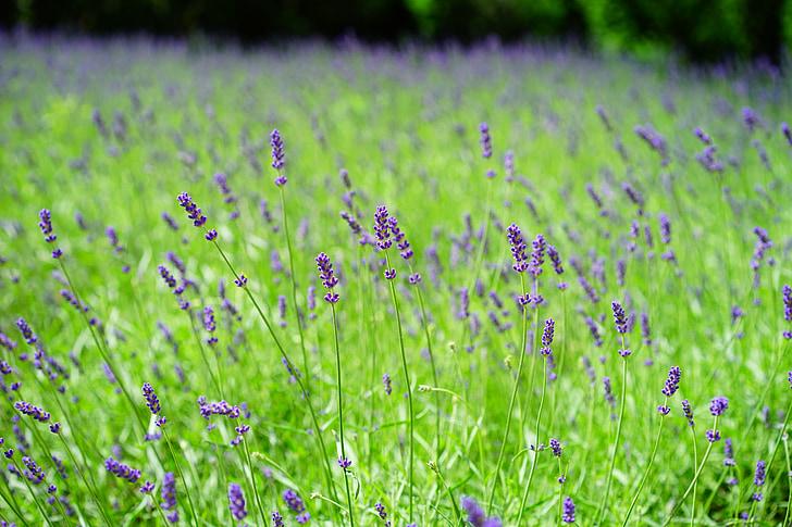 lavanda, camp de lavanda, flors, porpra, planta silvestre, WildBlue, flors d'espígol