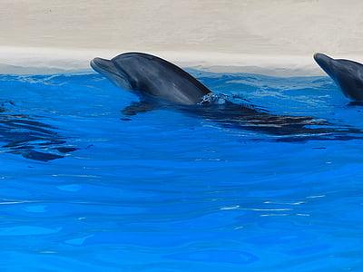 Дельфіни, шоу дельфінів, Демонстрація, атракціон, тварина шоу, Показати, води
