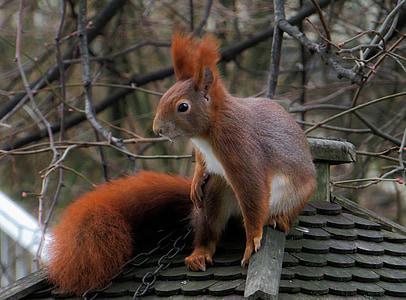 animal, esquirol, peluts, valent, jardí, possierlich, pujar