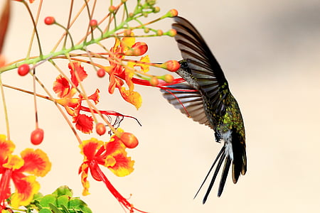 kolibrík, Kuba, voľne žijúcich živočíchov, jedno zviera, vták, lietanie, zvierat voľne žijúcich živočíchov