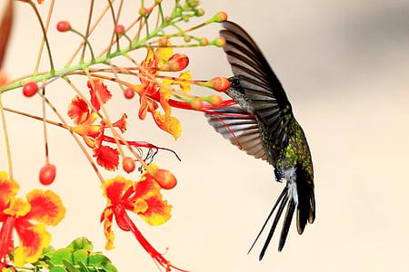 колибри, Куба, дива природа, едно животно, птица, плаващи, животните дивата природа