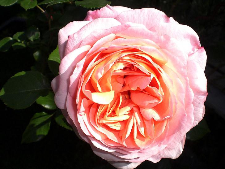 nousi, ruusut, kukka, nousi bloom, tuoksu, romanttinen, aprikoosi
