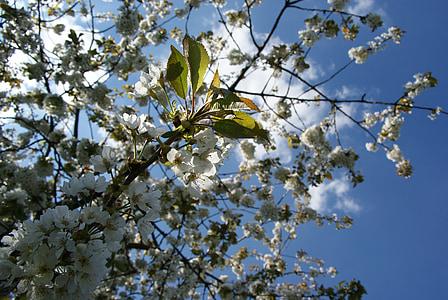 cirera, flors, arbre, cel, primavera, floració, blanc