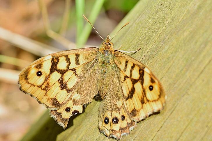 daba, tauriņš, vektoru tauriņš, spārni, kukaiņi, Pavasaris, skaistumu