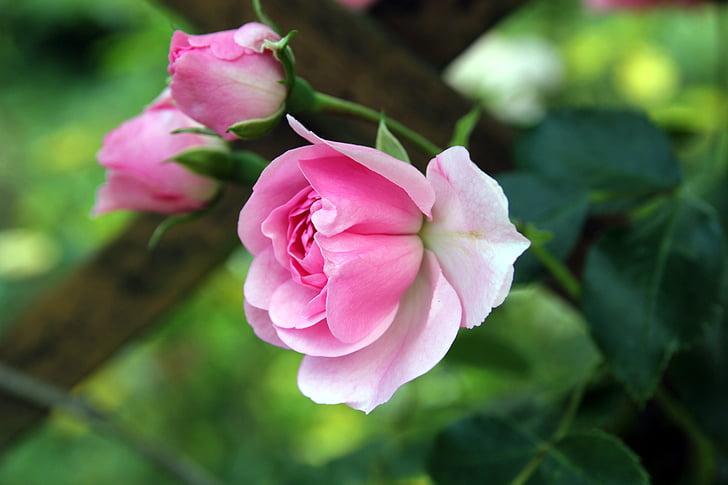 ruža, Buda, cvijeće, tri