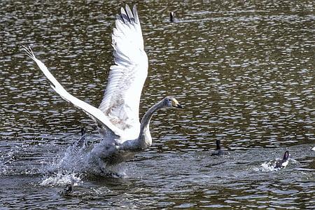 animal, lake, swan, waterfowl, wild birds, wild animal, natural