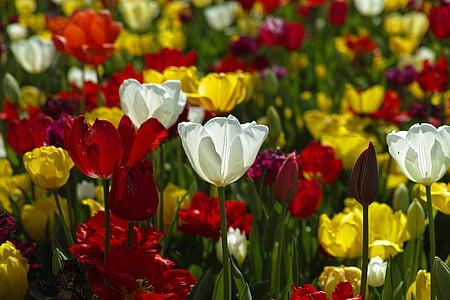 tulipes, flors, planta, colors, jardí, Tulipa, natura