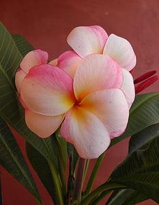 Frangipani, flor, olor, natura, Frangipani, tropical, exòtiques