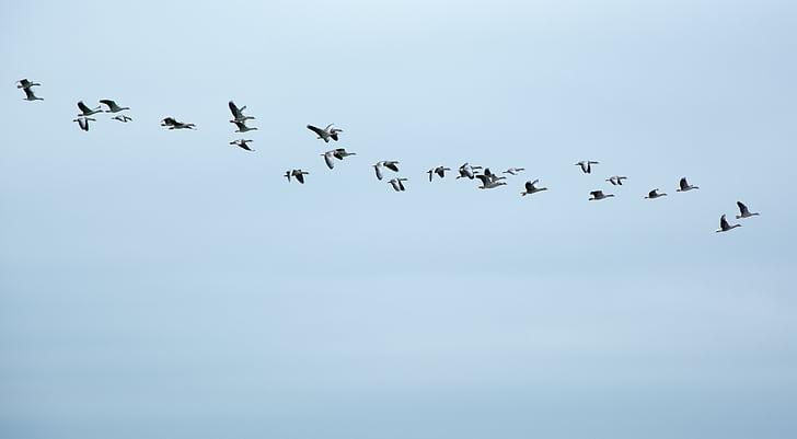 muuttolintujen, hanhet, hanhia, parvi, lentää, muodostuminen, Linnut