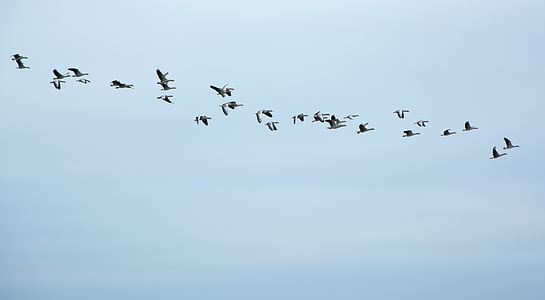 migratory birds, geese, wild geese, swarm, fly, formation, birds