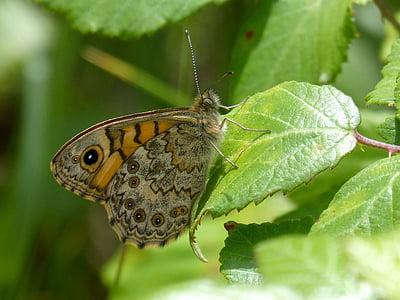 Distelvlinder, vlinder, blad, BlackBerry, detail, Vanesa