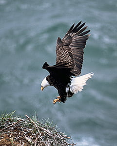 Eagles nest, Flying, lind, Predator, karvased, looma, terav silmadega