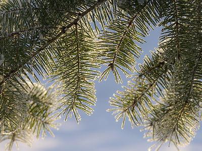 strom, větev, jedle, jinovatka, bílá frost, Rime, mráz