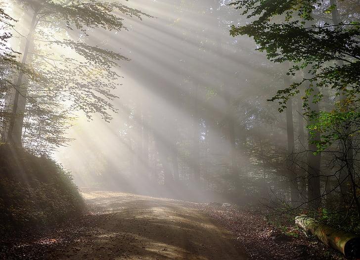 pieaugums, no rīta, migla, saules stars, meža, morgenstimmung, agri no rīta