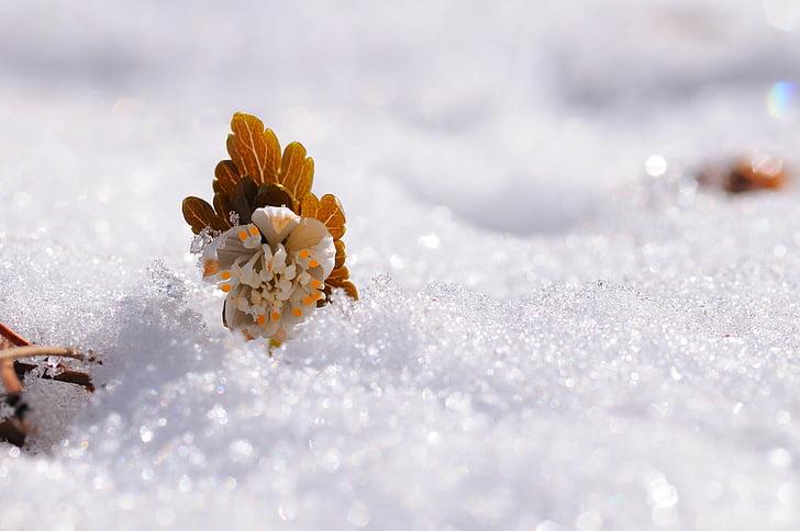 neige, fleurs, Sunshine