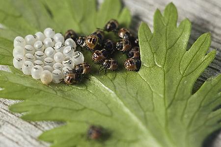 errors, escotilla, ous d'insectes, insectes, fulla, fotografia de macro, natura