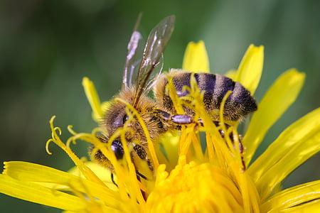 mesilane, Lähis Joonis, Makro, putukate, loodus, mesi, kollane