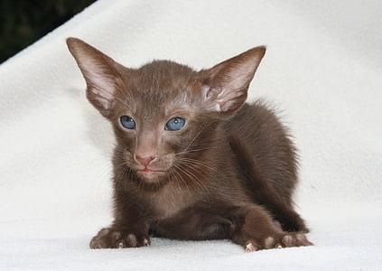cat, young animal, curious, brown, kitten, oriental shorthair, fur