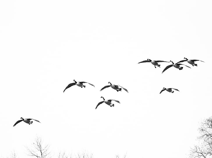 гъски, птици, птици летят, водолюбивите птици, птица, полет, Криле