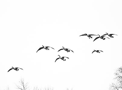 geese, birds, birds flying, waterfowl, bird, flight, wings