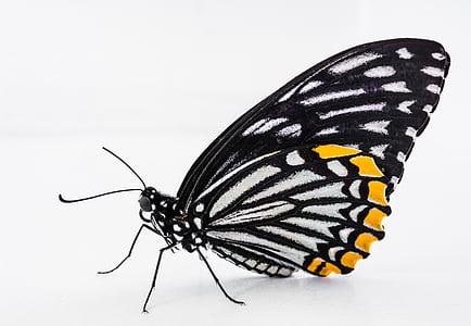 vlinder, insect, vlinder - insecten, natuur, dier, dierlijke vleugel, schoonheid in de natuur