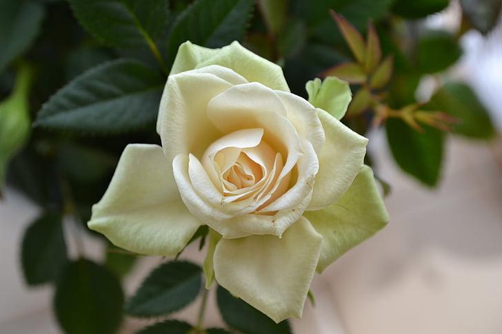 crème rose, fleur parfaite, fleur, Rose, plante vivace, Rosa, rose thé